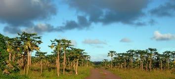 papaia ricca del raccolto Fotografia Stock Libera da Diritti