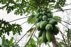 Papaia sull'albero Fotografia Stock Libera da Diritti