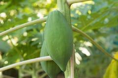 Papaia sull'albero Fotografia Stock