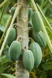 Papaia sull'albero di papaia Fotografie Stock Libere da Diritti