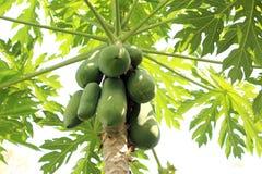 Papaia sull'azienda agricola della papaia e dell'albero Fotografie Stock