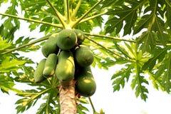 Papaia sull'azienda agricola della papaia e dell'albero Immagini Stock Libere da Diritti