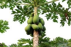 Papaia sull'azienda agricola della papaia e dell'albero Immagini Stock