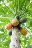 Papaia sulla pianta Immagini Stock