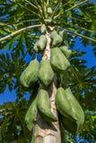 Papaia verdes que crescem em uma árvore Foto de Stock Royalty Free