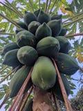 papaja royalty-vrije stock foto's