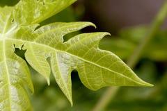 papaja liści Zdjęcie Stock