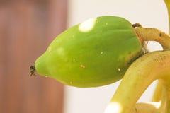 Papaja op de boom Stock Foto