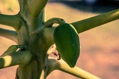 Papaja op de boom Stock Fotografie