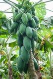 Papaja op de papajaboom Royalty-vrije Stock Fotografie