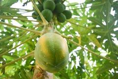 Papaja op een boom Royalty-vrije Stock Fotografie