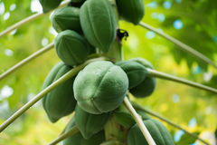 Papaja op een boom Royalty-vrije Stock Foto's