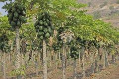 Papaja's op boom, Carica papaja, Caricaceae, Maharashtra, I Royalty-vrije Stock Foto