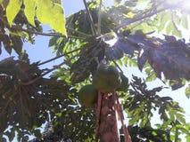 Papaja's op de boom Royalty-vrije Stock Foto's