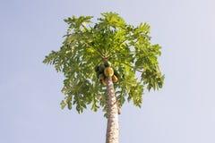 Papaja's op zijn boom Stock Foto