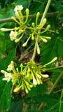 papajabloem het hangen Royalty-vrije Stock Afbeeldingen