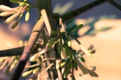 Papajabloemen op de bomen Royalty-vrije Stock Foto's
