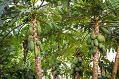 Papajabomen Royalty-vrije Stock Fotografie