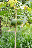 Papajaboom in Bos Stock Foto's