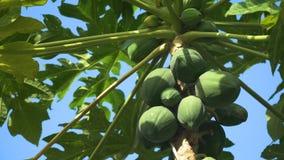 Papajaboom met vruchten stock video