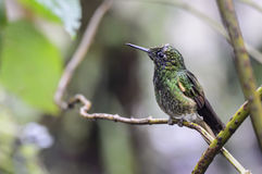 Papallacta蜂鸟 库存照片