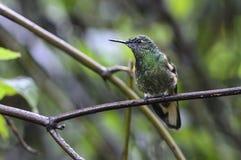 Papallacta Hummingbird Royalty Free Stock Photos