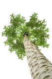 Papata tree. On white background Stock Photography