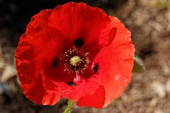 Papaver λουλουδιών παπαρουνών rhoeas στοκ φωτογραφίες με δικαίωμα ελεύθερης χρήσης
