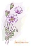 papaver οπίου somniferum παπαρουνών διανυσματική απεικόνιση