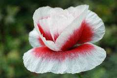 Papaver Stock Images