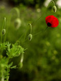 Papaver Royalty-vrije Stock Fotografie