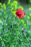Papaver. The red flower of the pharmaceutical plant Stock Photography