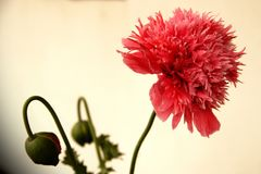 Papaver Royalty Free Stock Images