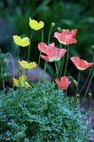 Alpine poppy flowers in bloom Royalty Free Stock Photography