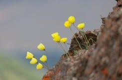 Papaver alpinum Royalty Free Stock Photo