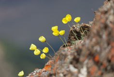 Papaver alpinum Stock Image
