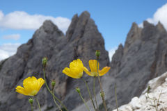 Papaver alpinum. Yellow flower, rocky background and sky Royalty Free Stock Image