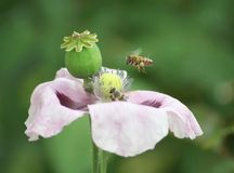 Papaver and bees Royalty Free Stock Photos