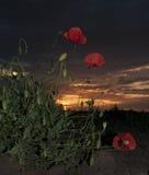Papaver bij zonsondergang royalty-vrije stock foto's
