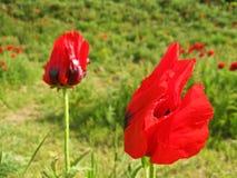 Free Papaver Bracteatum , The Iranian Poppy Or Persian Poppy Natural Flowers In Damavand Stock Image - 182285701