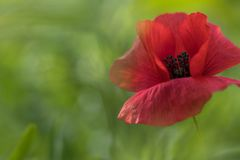 Papaver in close-up stock fotografie
