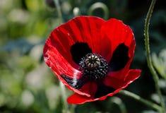 Papaver commutatum - Ladybird maczek Fotografia Stock