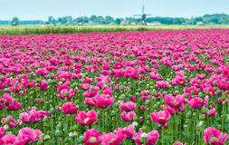 Papaver cultivation in the Netherlands Royalty Free Stock Image