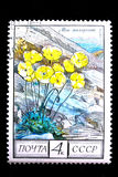 Papaver dahlianum royalty free stock images
