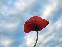 Papaver in de wind Stock Fotografie