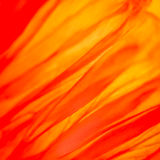 Papaver der Mohnblumenblume 188 Lizenzfreies Stockbild