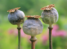 Papaver drie - hoofd Stock Foto's