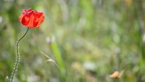 Papaver in een weide, enige bloem stock footage