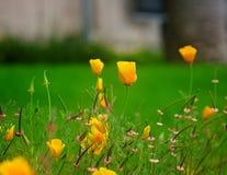 Papaver en andere Wildflowers op een gebied Royalty-vrije Stock Foto
