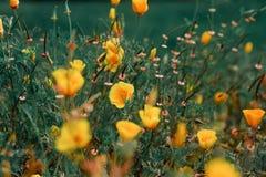 Papaver en andere Wildflowers op een gebied Stock Afbeelding